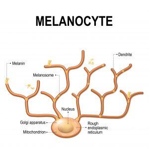 Forma del melanocita
